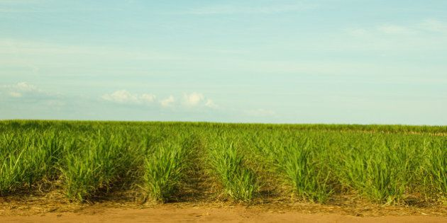 Small and Young Sugar Cane Plantation in South-West Brazil for production of Sugar or