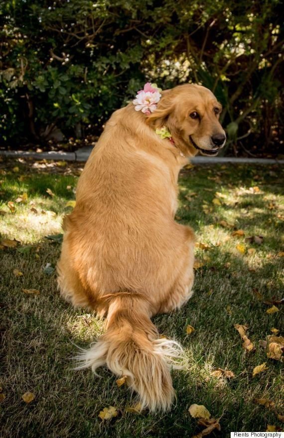 Golden retriever grávida faz adorável ensaio fotográfico de