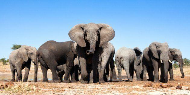 Elephants at a
