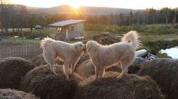 ASSISTA: Cachorros brincam em fardos de capim com lindo pôr do Sol ao