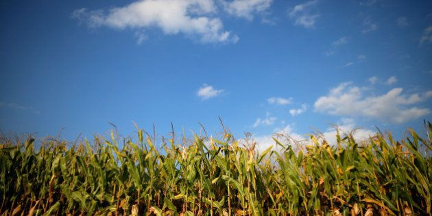 Corn is seen in the field that belonged to the Gibson family farm businesses which was auctioned off...