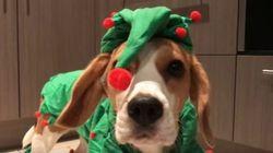 ASSISTA: Família de beagles está em clima de Natal, e as fantasias deles provam