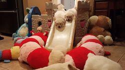ASSISTA: 16 filhotes de golden retriever brincam em escorregador