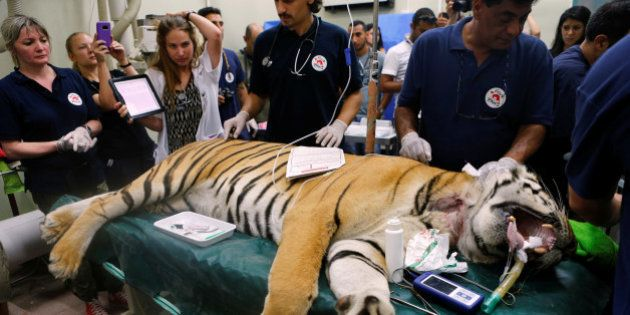 Laziz, an 8-year-old tiger, part of group of 15 animals from Gaza, the last survivors of