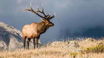 Colorado Bull Elk in Rut