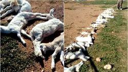 Tlemcen : 30 foyers de la peste de petits ruminants et de fièvre aphteuse