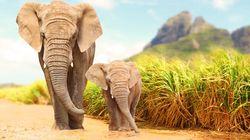 Οι ελέφαντες στην Μοζαμβίκη γεννιούνται πια χωρίς χαυλιόδοντες - Πώς εξηγείται η εξέλιξη του