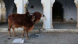 Now, The Congress Govt In Rajasthan Will Felicitate Those Who Adopt Stray Cows On Republic