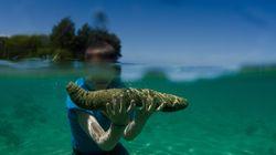 Μανία για το πολύτιμο «Αγγούρι της θάλασσας»: 40 δύτες νεκροί για τον μεζέ των 3.500