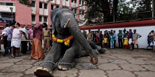 A chained temple elephant sits upon the command of his mahout as he is prepared for Friday's Pooram...