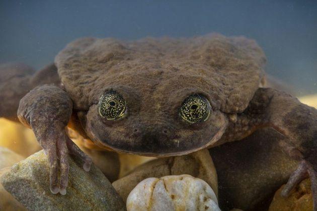 Roméo, une des dernières grenouilles de son espèce, a trouvé sa
