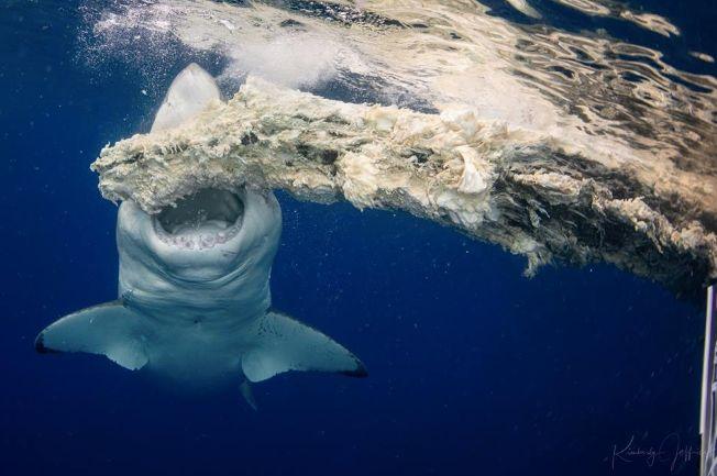 Photographer Kimberly Jeffries filmed on as a massive white shark had a meal off the coast of Oahu.