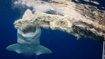 Photographer Kimberly Jeffries filmed on as a massive white shark had a meal off the coast of Oahu.