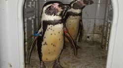Pair Of Penguins Returned To Zoo Two Months After Being