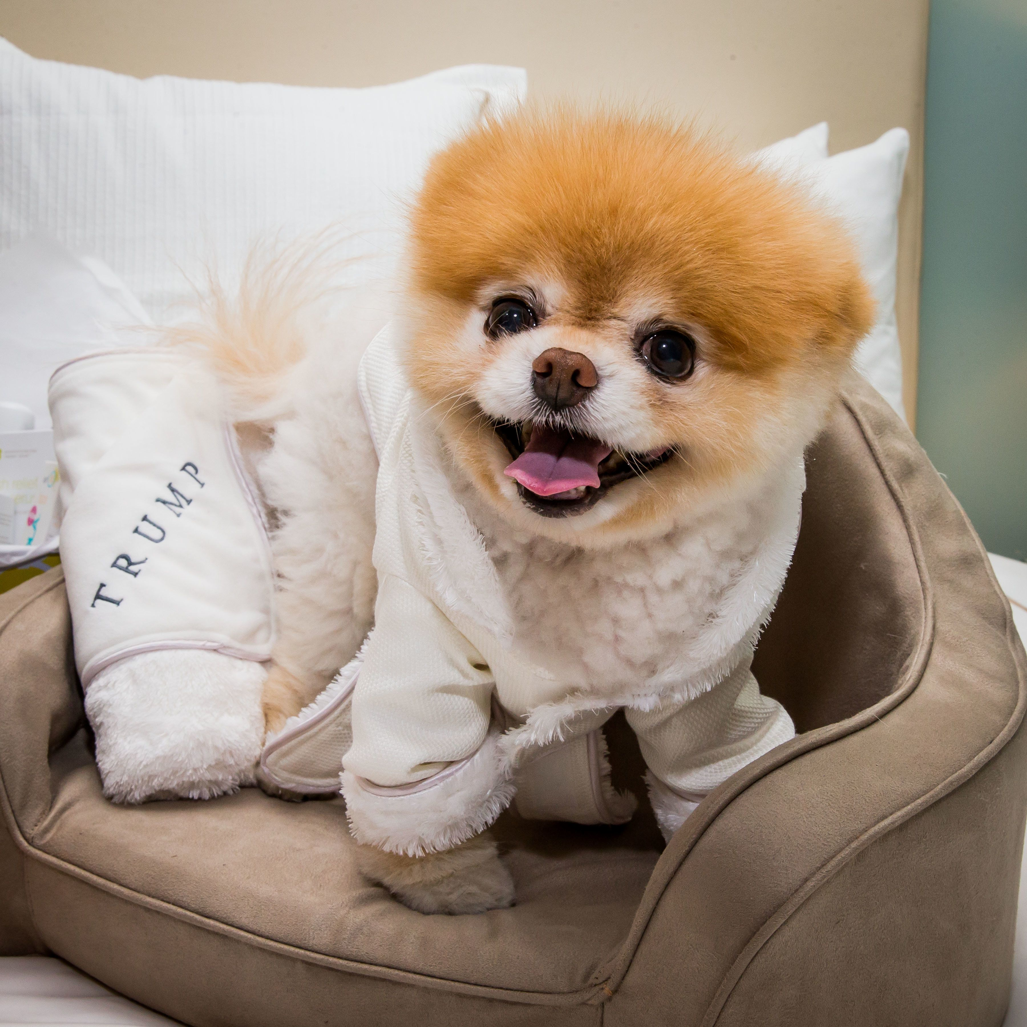 Boo, a dog massively famous on social media for his adorable face, in
