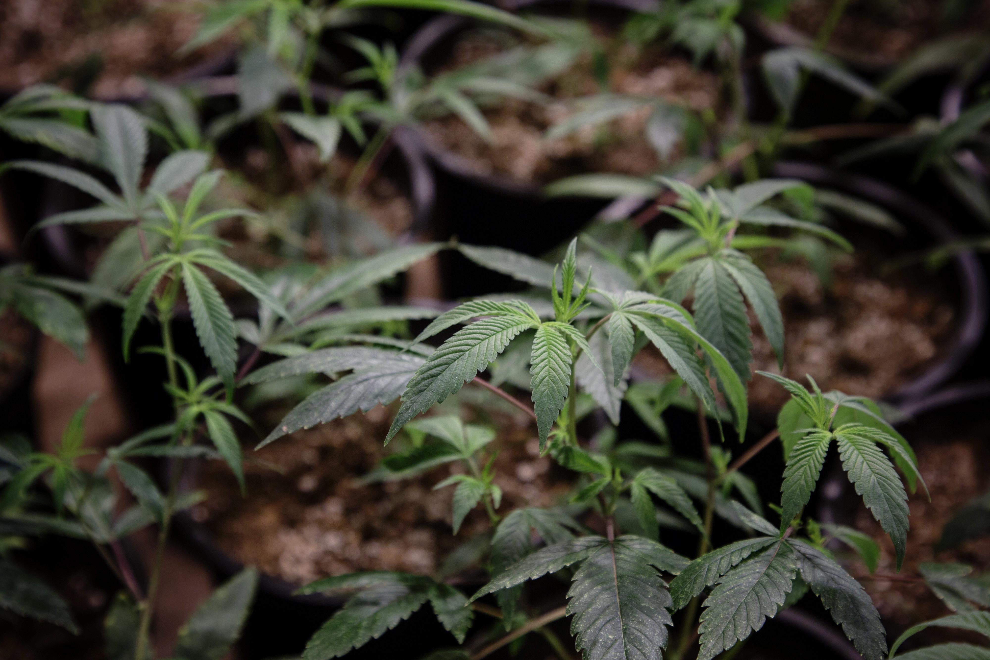 Cannabis: Une solution pour la