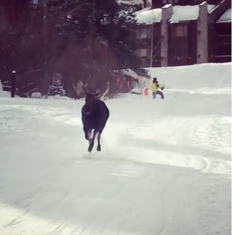 moose chases skiers