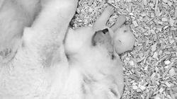 Polar Bear Cub Takes First Steps In Berlin