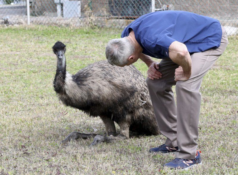 In this Tuesday, Jan. 22, 2019, photo Dr. Richard Henderson, a veterinarian with Galveston Veterinary Clinic, checks over one of two emus caught by animal control officers at Parker Elementary School in Galveston, Texas.