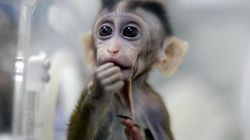 In A First, China Clones Gene-Edited Monkeys For Health