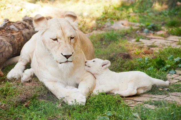 Tunisie: Naissance de trois lionceaux au parc