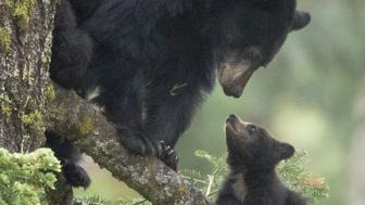 A mother black blear with her young cub