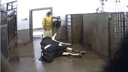 Τι φτάνει στο πιάτο μας; Κρυφή κάμερα κατέγραψε τον σφαγιασμό άρρωστων αγελάδων για να πουλήσουν το