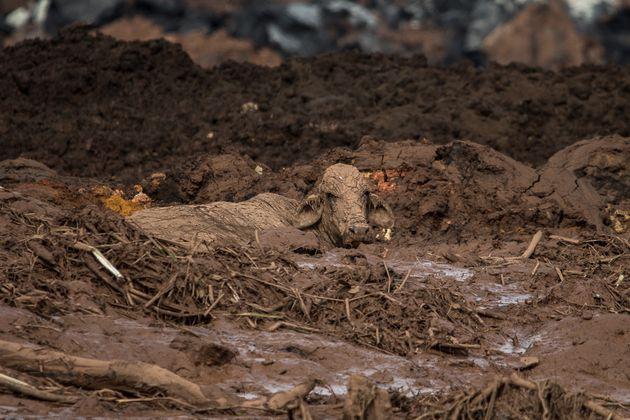 Rompimento de barragem da Vale também atingiu animais da