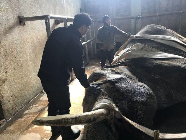 전주동물원 진료팀과 사육사가 누워 있는 코돌이를 일으키려 다독이고