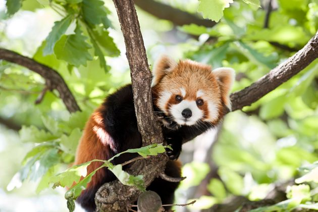 The red panda disappeared from its enclosure at Belfast