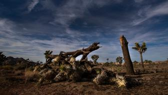 JOSHUA TREE, CA - JANUARY 8: A once vibrant Joshua Tree has been severed in half  in an act of vandalism in Joshua Tree National Park on January 8, 2019 in Joshua Tree, California. The park may temporarily  close on Thursday because of the government shutdown.  (Photo by Gina Ferazzi/Los AngelesTimes via Getty Images)