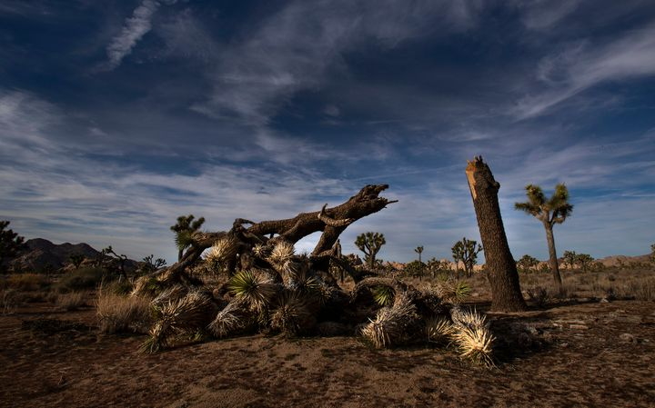 A once vibrant Joshua tree, felled in an act of vandalism in Joshua Tree National Park in California.