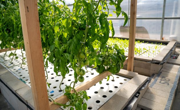 Tomatoes grow via aquaponics at the Ecolife Innovation Center in northern San Diego