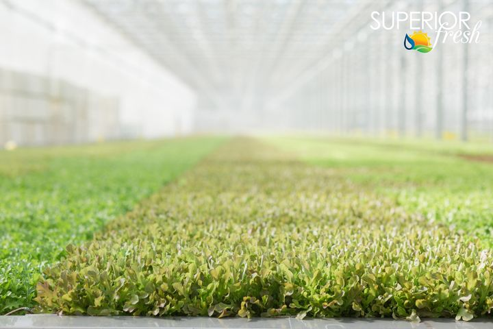 Superior Fresh in Wisconsin contains 123,000 square feet of production space and 850,000 gallons of aquaponics.