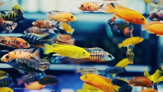 Close-up at Colorful Tropical Fish in Tank Aquarium, Bangkok Province, Thailand, Asia
