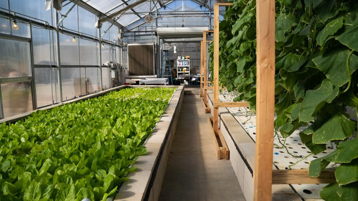 The leafy greens shown here, at the Ecolife Innovation Center in northern San Diego County, are grown using aquaponics.