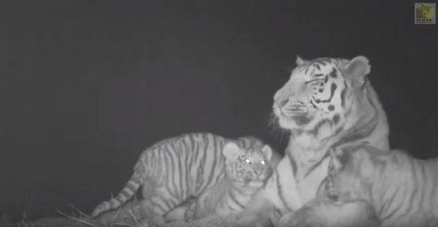 러시아에서 새끼 시베리아 호랑이 4마리가 노는 모습이