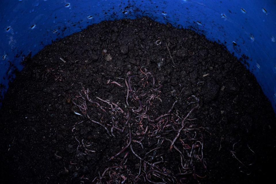 Ein Tiger-Toilet-Fermenter, voll mit Würmern und etwas Kompost, ist bereit, installiert und mit...