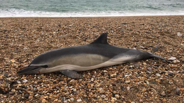 Researchers studied dozens of beached marine mammals, including dolphins, and found plastic inside all of them.