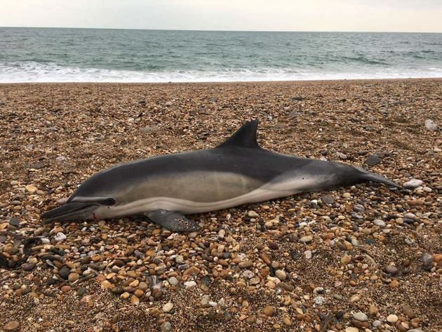 Researchers studying dozens of beached marine mammals, including dolphins, found plastic inside all of