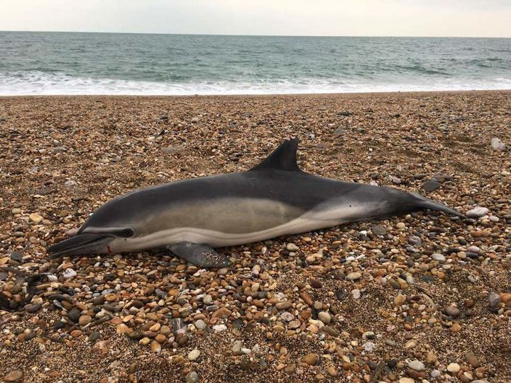 Researchers studying dozens of beached marine mammals, including dolphins, found plastic inside all of them.