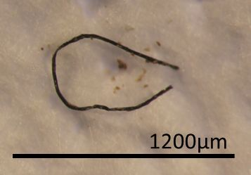 One of the synthetic fibers found inside the digestive tract of an animal from the study.