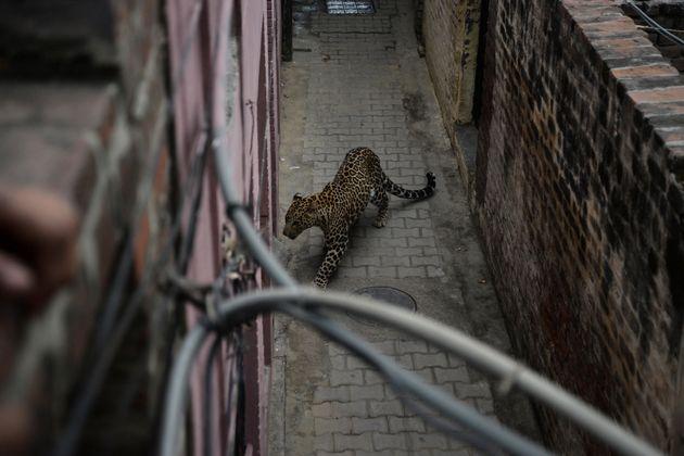 Ινδία: Λεοπάρδαλη εισέβαλε σε κατοικημένη περιοχή – Τέσσερις