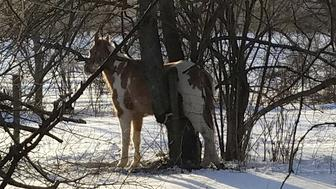 horse gets stuck in tree