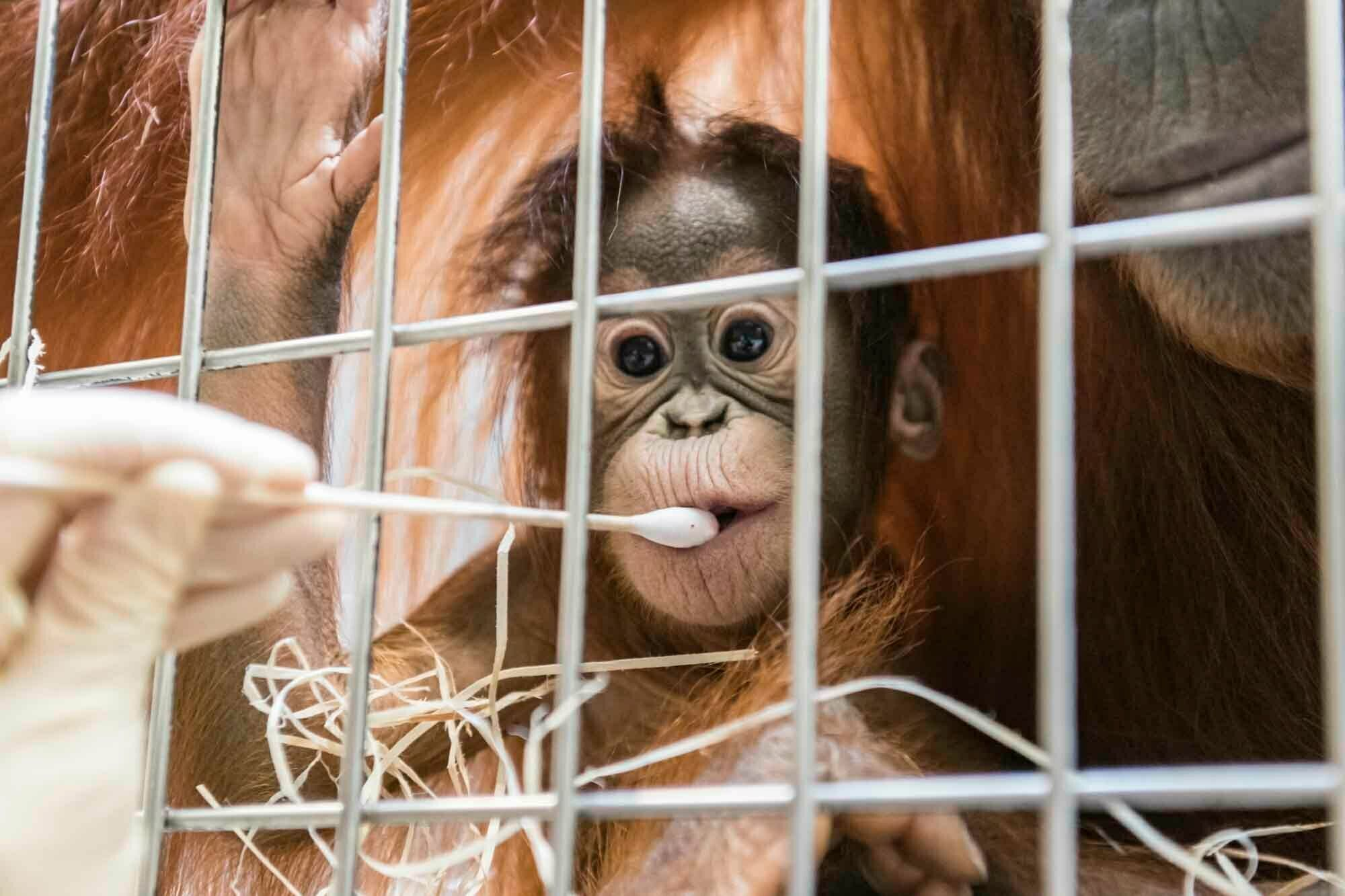 In this undated photo, released Thursday Jan. 31, 2019, by Zoo Basel, zoo keepers routinely take DNA samples from female orangutan cub Padma to determine her paternity at the Basel Zoo. ( Zoo Basel via AP)