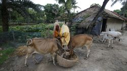 'Gau Mata Ka Samman': Allocation For Rashtriya Gokul Mission Increased To Rs 750 Crore This