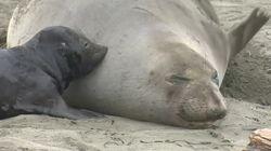 Elephant Seals Take Over California