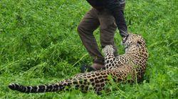Η στιγμή που λεοπάρδαλη επιτίθεται σε