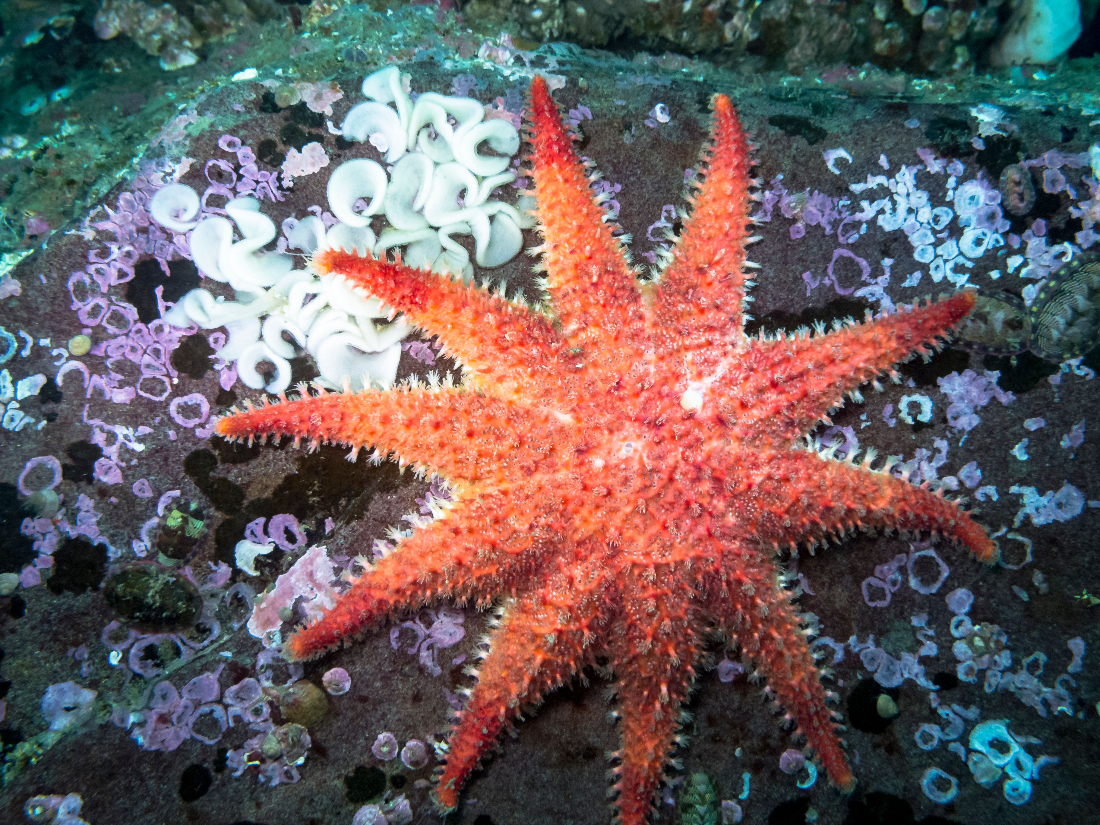 A vibrant star with many common names photographed in southern British Columbia at a depth of 30ft. Nudibranch eggs on top left of boulder as well.