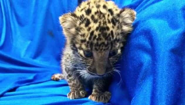Man smuggles month-old leopard on plane to India
